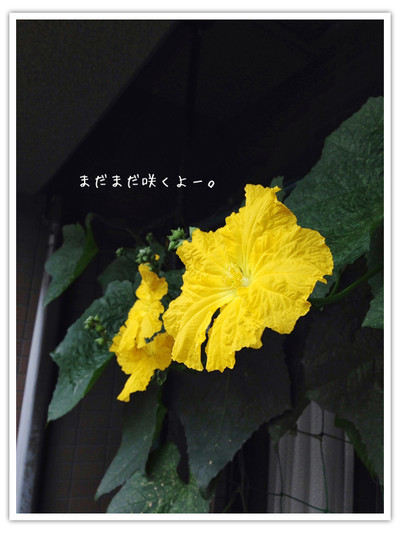 Hechimaflower
